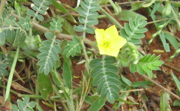 Tribulus terrestris flower