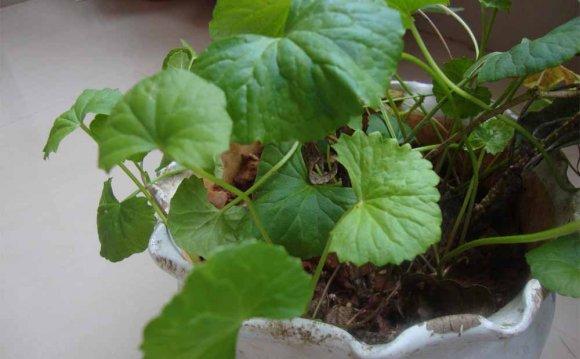 Gotu Kola – Centella asiatica