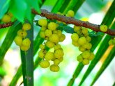 Ayurveda Amla benefits